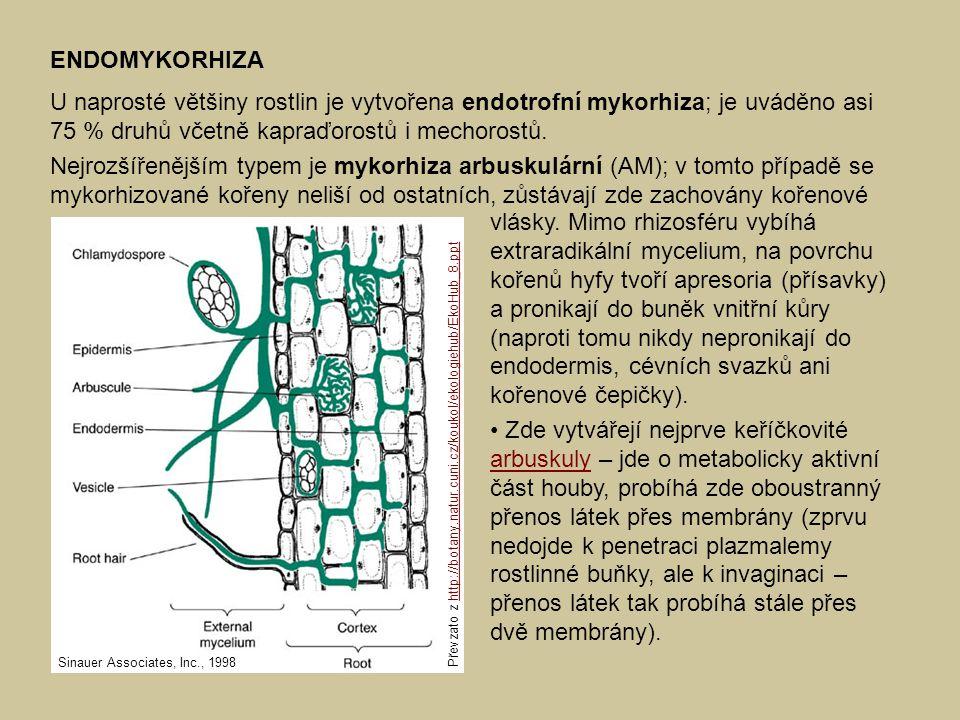 ENDOMYKORHIZA U naprosté většiny rostlin je vytvořena endotrofní mykorhiza; je uváděno asi 75 % druhů včetně kapraďorostů i mechorostů.