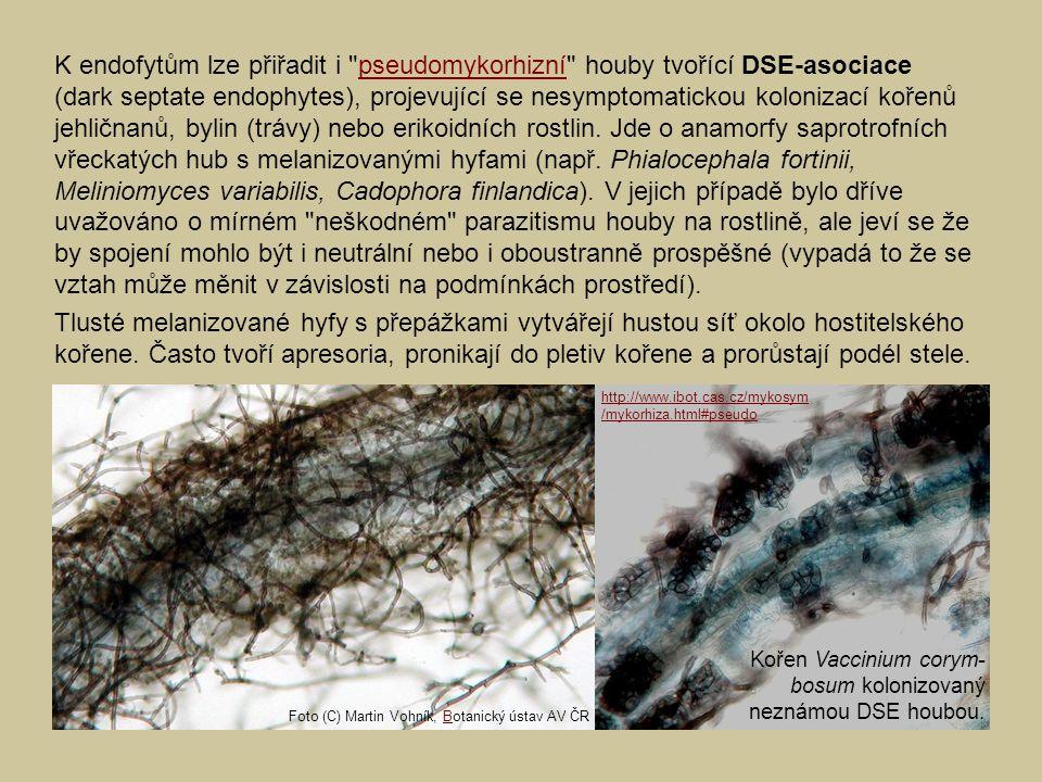 K endofytům lze přiřadit i pseudomykorhizní houby tvořící DSE-asociace (dark septate endophytes), projevující se nesymptomatickou kolonizací kořenů jehličnanů, bylin (trávy) nebo erikoidních rostlin. Jde o anamorfy saprotrofních vřeckatých hub s melanizovanými hyfami (např. Phialocephala fortinii, Meliniomyces variabilis, Cadophora finlandica). V jejich případě bylo dříve uvažováno o mírném neškodném parazitismu houby na rostlině, ale jeví se že by spojení mohlo být i neutrální nebo i oboustranně prospěšné (vypadá to že se vztah může měnit v závislosti na podmínkách prostředí).