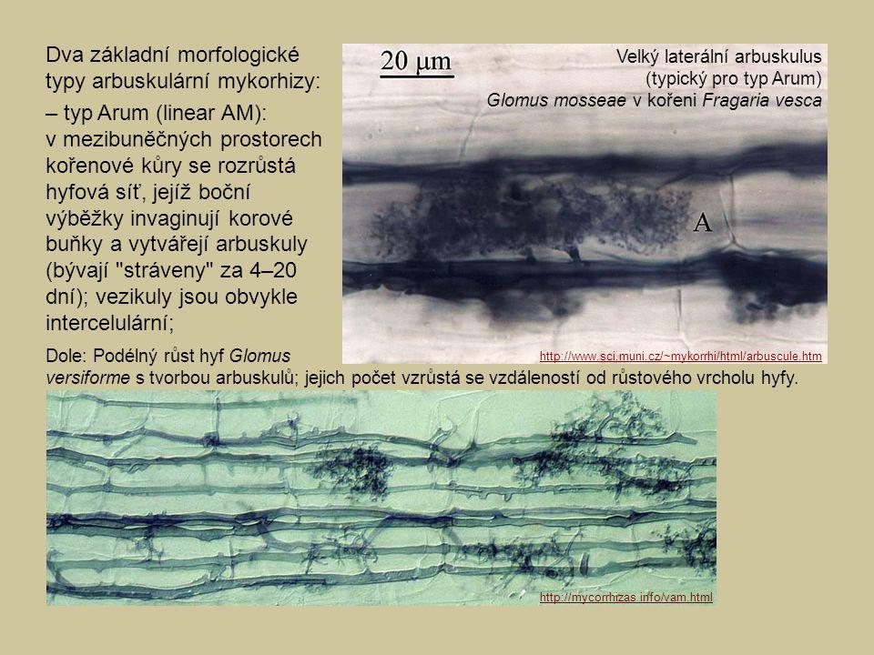 Dva základní morfologické typy arbuskulární mykorhizy: