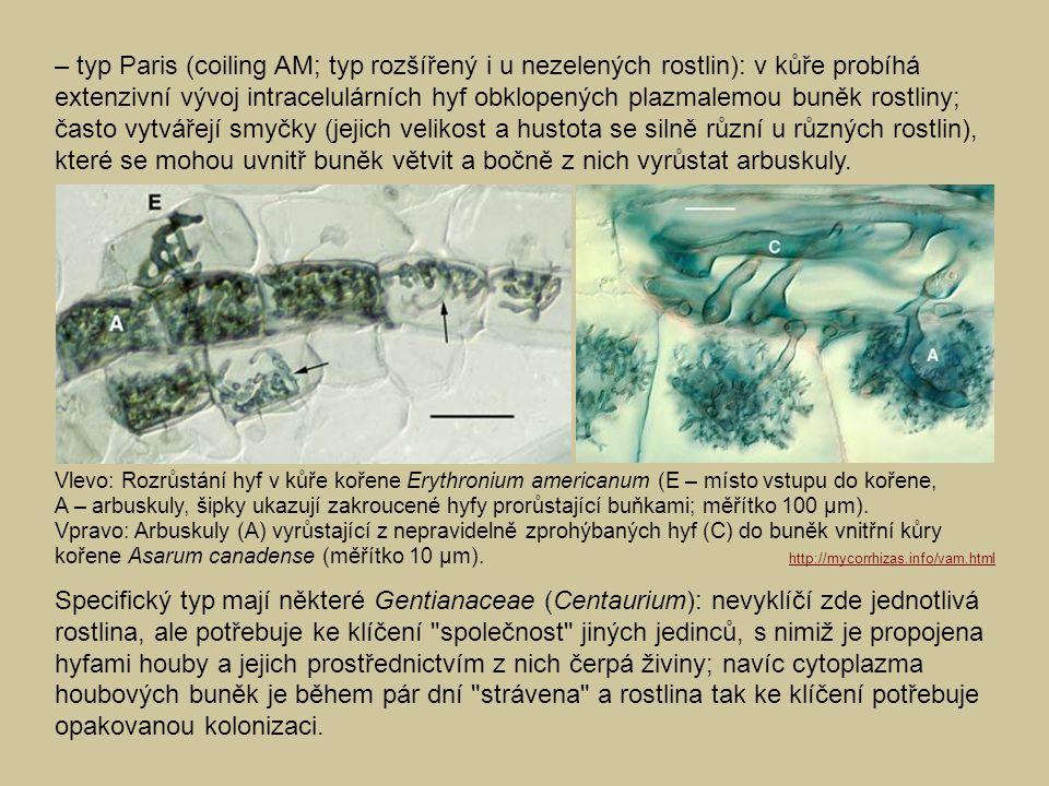 – typ Paris (coiling AM; typ rozšířený i u nezelených rostlin): v kůře probíhá extenzivní vývoj intracelulárních hyf obklopených plazmalemou buněk rostliny; často vytvářejí smyčky (jejich velikost a hustota se silně různí u různých rostlin), které se mohou uvnitř buněk větvit a bočně z nich vyrůstat arbuskuly.