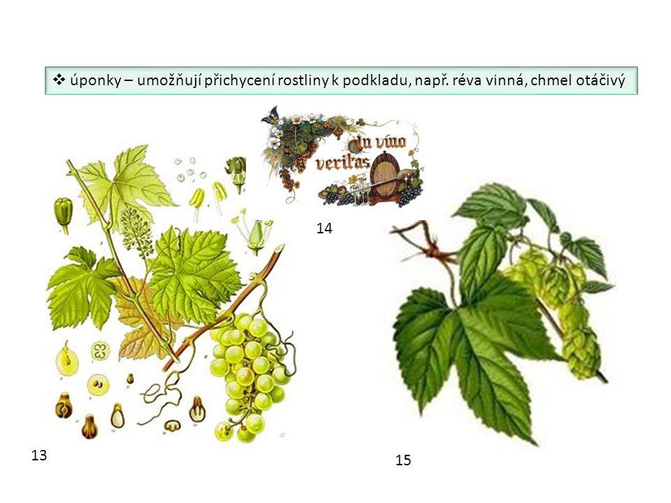 úponky – umožňují přichycení rostliny k podkladu, např