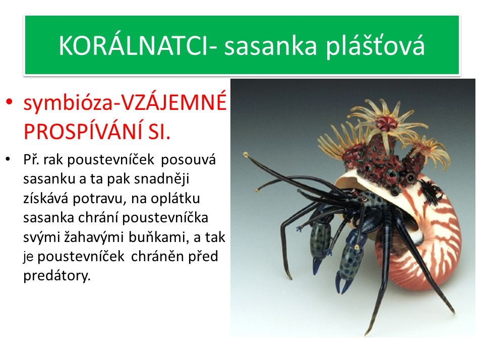 KORÁLNATCI- sasanka plášťová