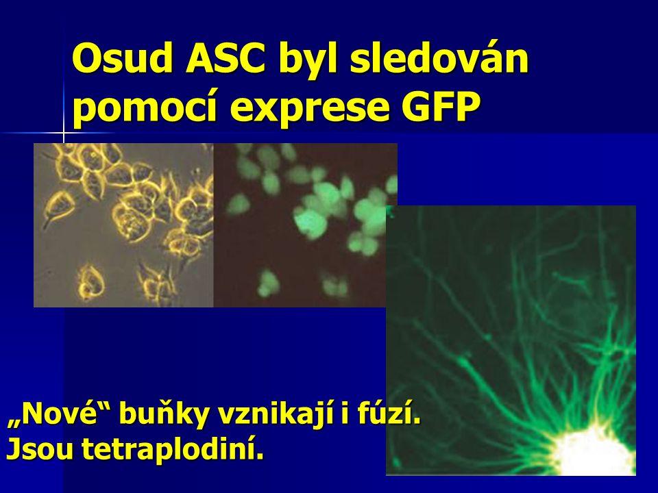 Osud ASC byl sledován pomocí exprese GFP