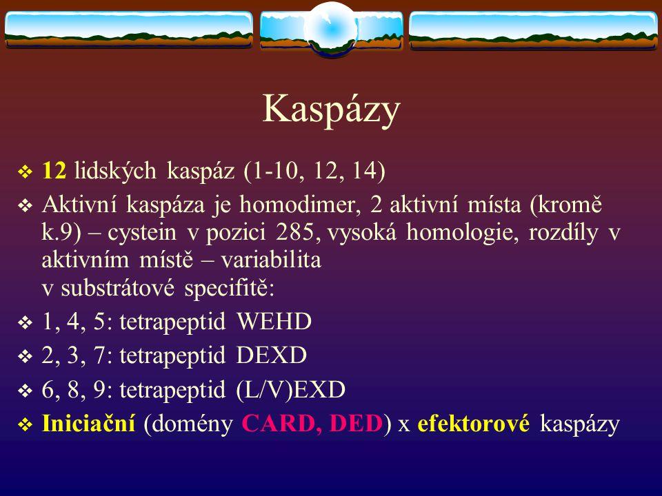 Kaspázy 12 lidských kaspáz (1-10, 12, 14)