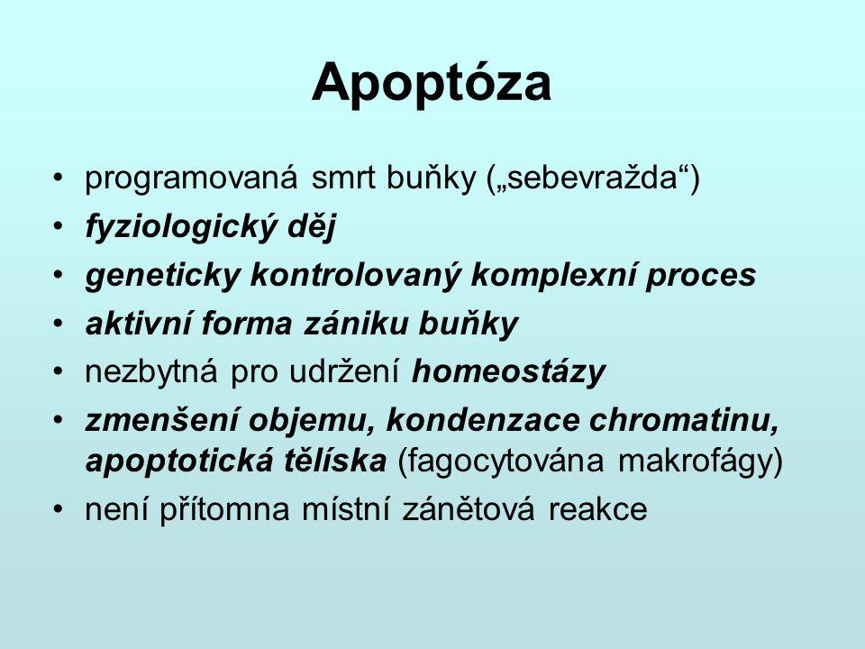 """Apoptóza programovaná smrt buňky (""""sebevražda ) fyziologický děj"""
