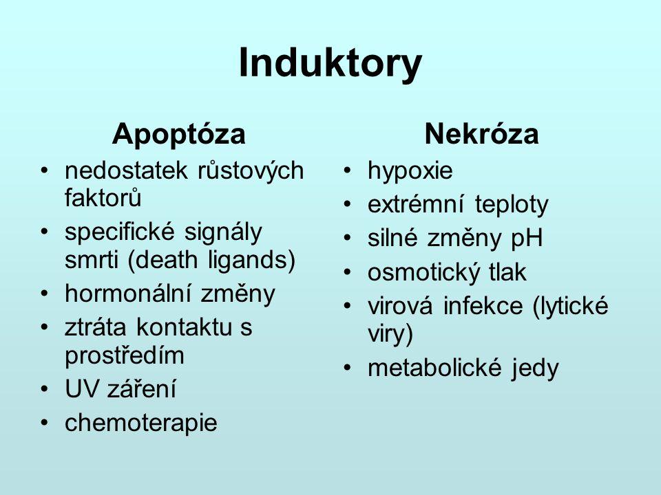 Induktory Apoptóza Nekróza nedostatek růstových faktorů