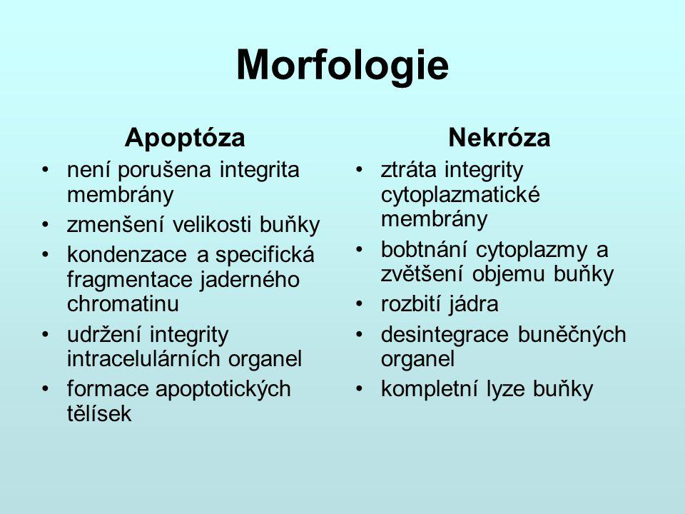Morfologie Apoptóza Nekróza není porušena integrita membrány