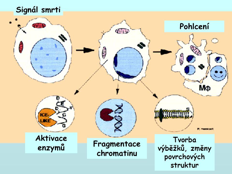 Fragmentace chromatinu Tvorba výběžků, změny povrchových struktur