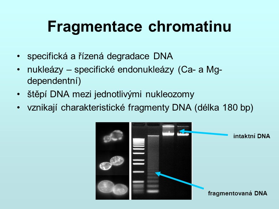 Fragmentace chromatinu