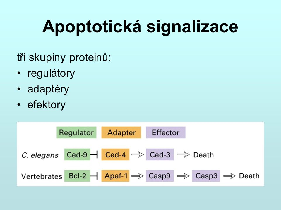 Apoptotická signalizace