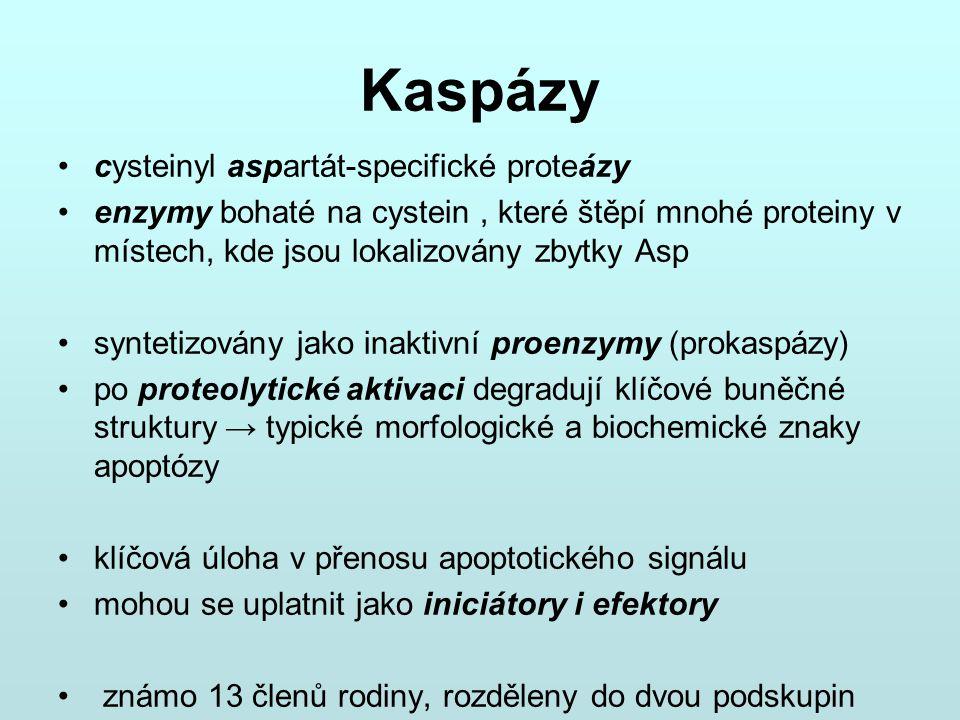 Kaspázy cysteinyl aspartát-specifické proteázy