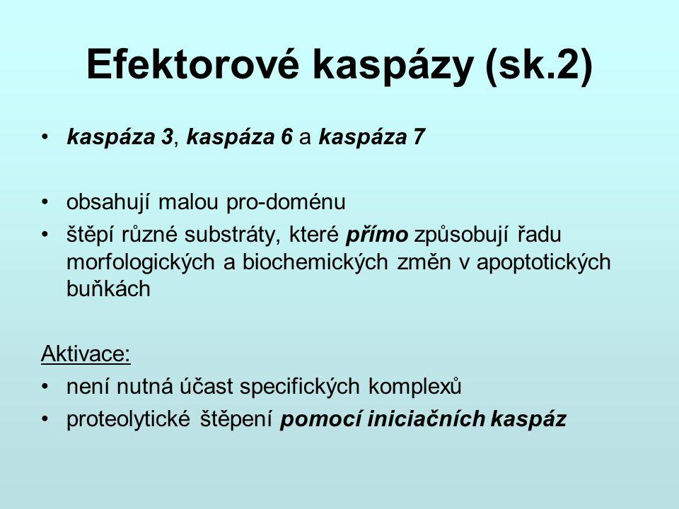 Efektorové kaspázy (sk.2)