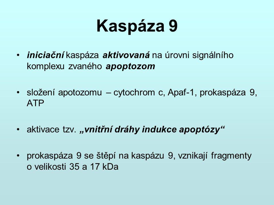 Kaspáza 9 iniciační kaspáza aktivovaná na úrovni signálního komplexu zvaného apoptozom. složení apotozomu – cytochrom c, Apaf-1, prokaspáza 9, ATP.
