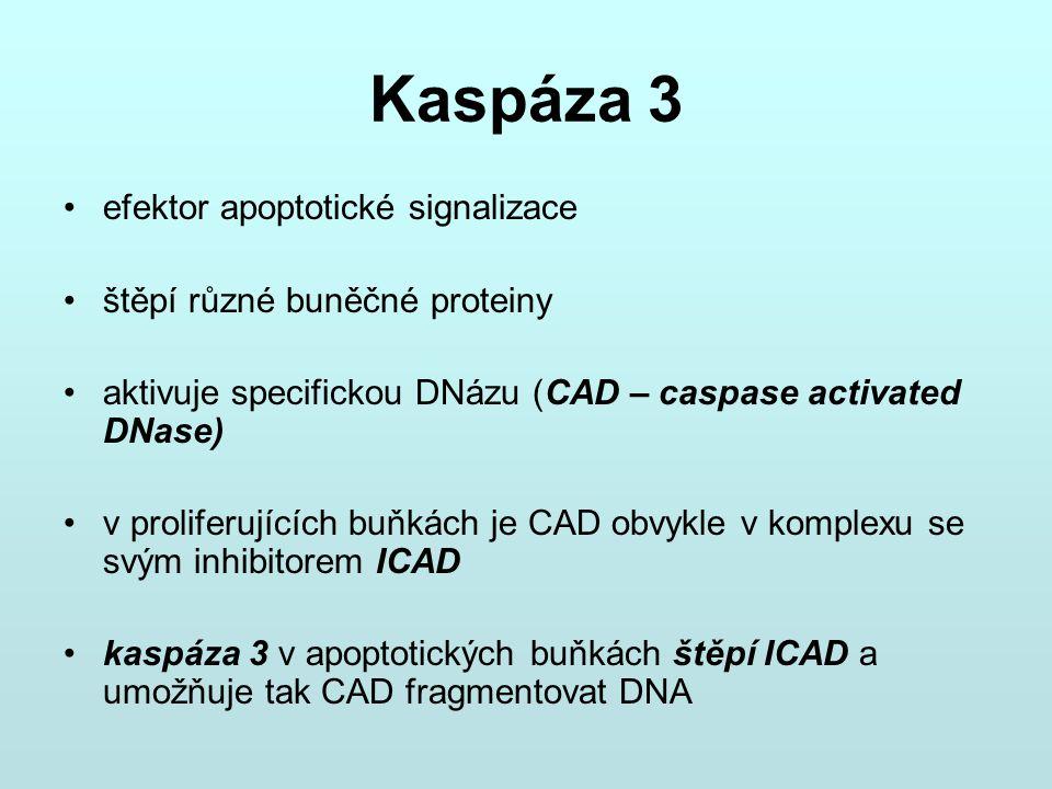 Kaspáza 3 efektor apoptotické signalizace štěpí různé buněčné proteiny