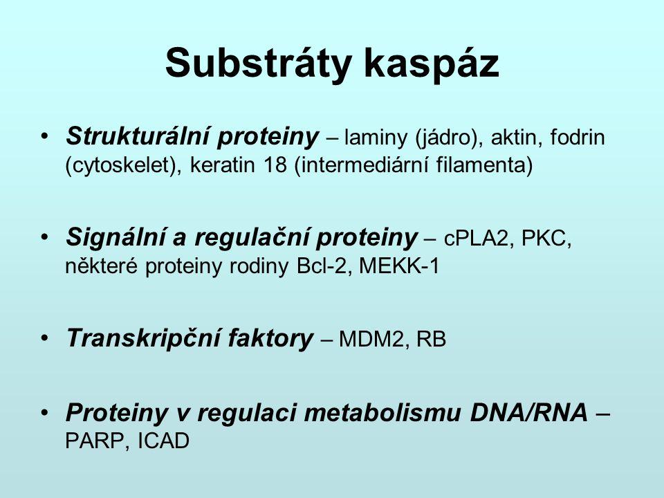 Substráty kaspáz Strukturální proteiny – laminy (jádro), aktin, fodrin (cytoskelet), keratin 18 (intermediární filamenta)