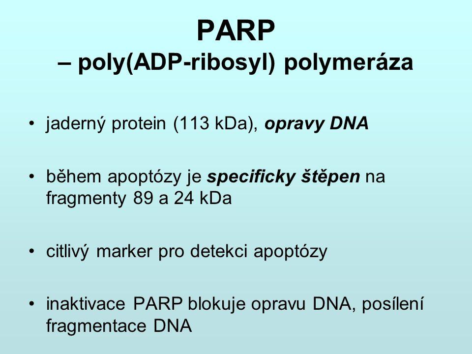 PARP – poly(ADP-ribosyl) polymeráza
