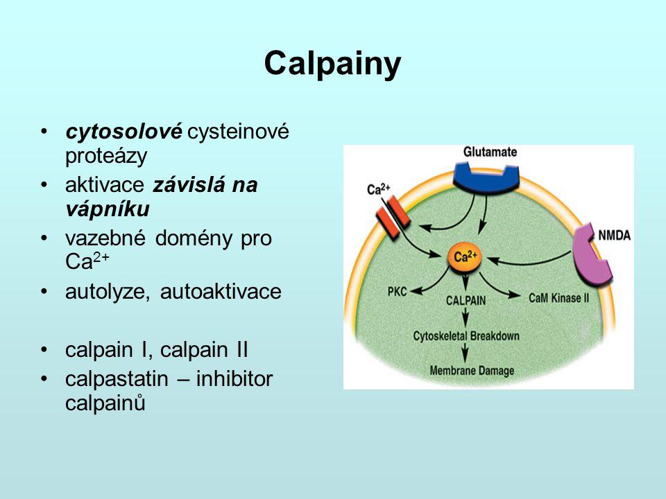 Calpainy cytosolové cysteinové proteázy aktivace závislá na vápníku