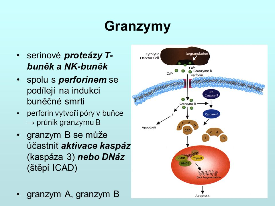 Granzymy serinové proteázy T-buněk a NK-buněk