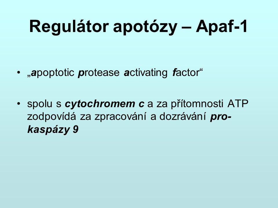 Regulátor apotózy – Apaf-1