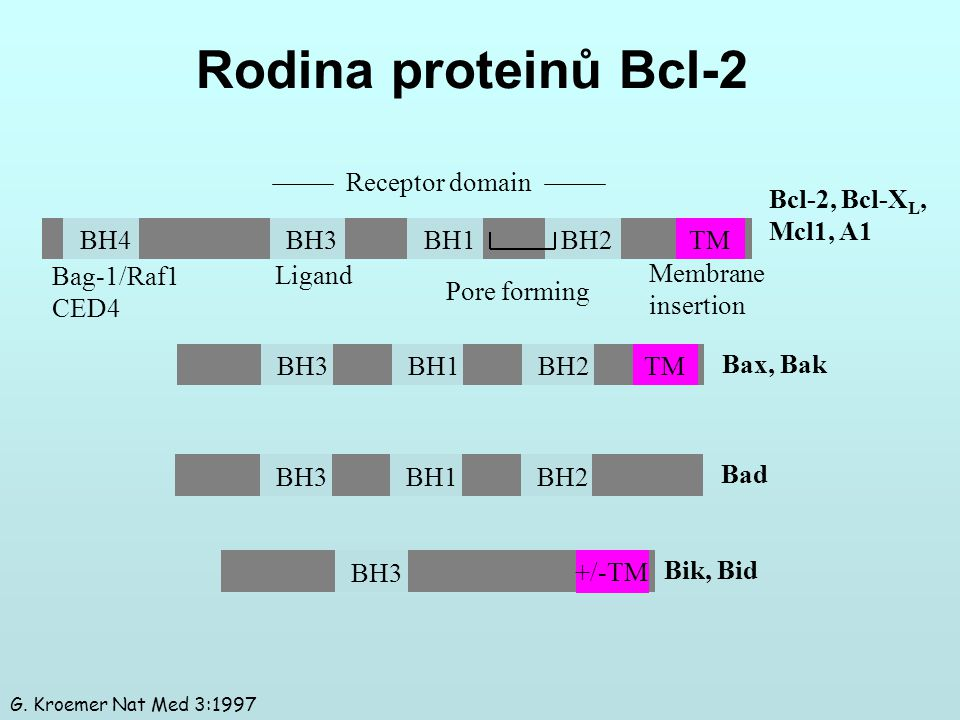 Rodina proteinů Bcl-2 Receptor domain Bcl-2, Bcl-XL, Mcl1, A1 BH4 BH3