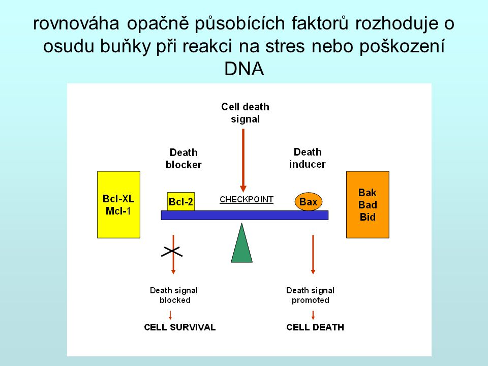 rovnováha opačně působících faktorů rozhoduje o osudu buňky při reakci na stres nebo poškození DNA