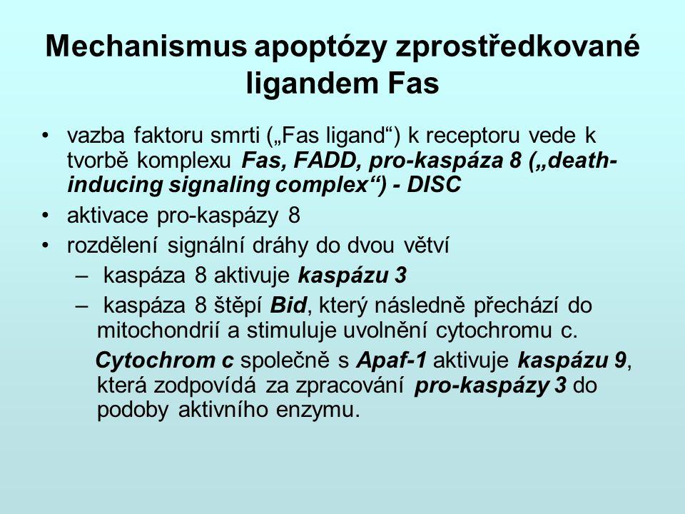 Mechanismus apoptózy zprostředkované ligandem Fas