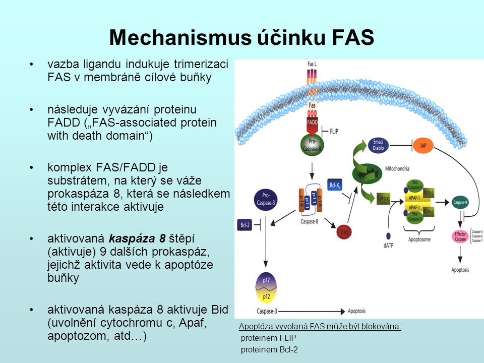 Mechanismus účinku FAS