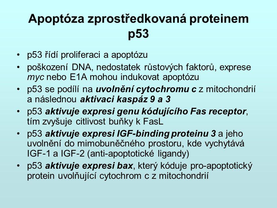 Apoptóza zprostředkovaná proteinem p53