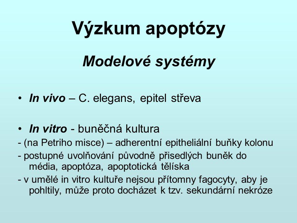 Výzkum apoptózy Modelové systémy In vivo – C. elegans, epitel střeva