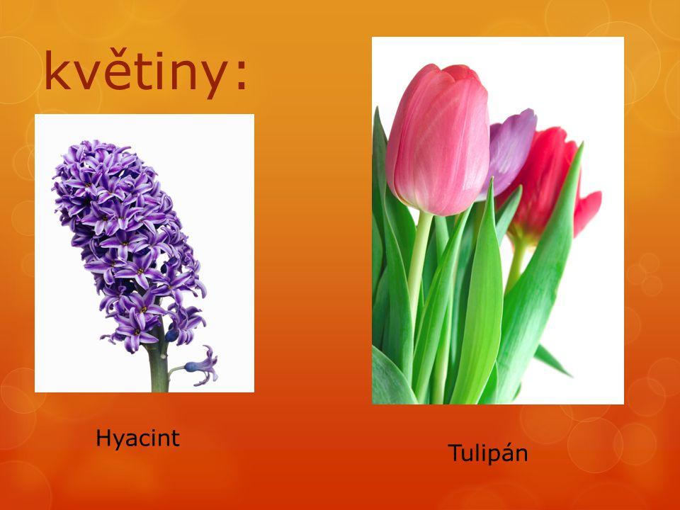 květiny: Hyacint Tulipán