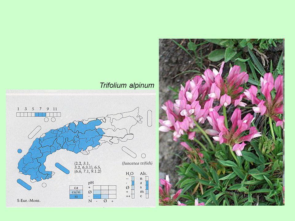 Trifolium alpinum