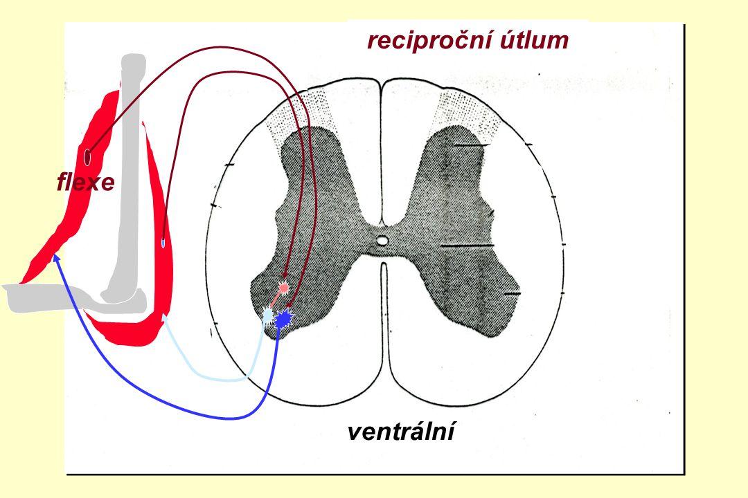 reciproční útlum zadní boční přední roh flexe ventrální