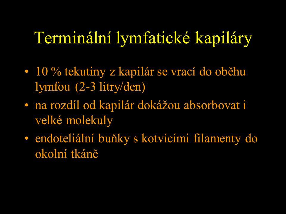 Terminální lymfatické kapiláry