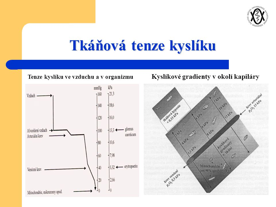 Tkáňová tenze kyslíku Kyslíkové gradienty v okolí kapiláry