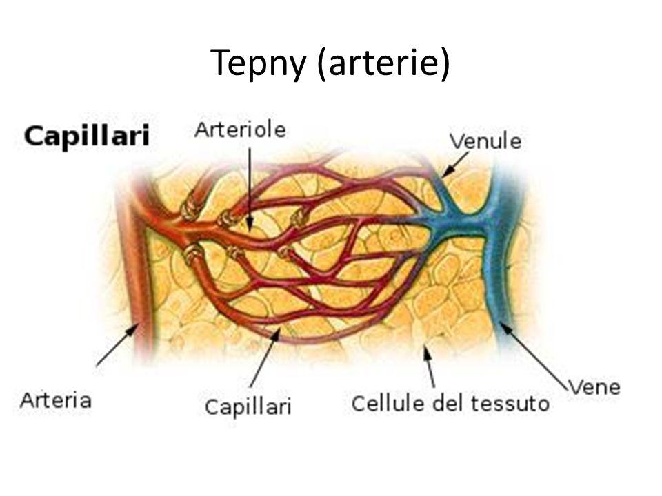 Tepny (arterie) autor: Arcadian