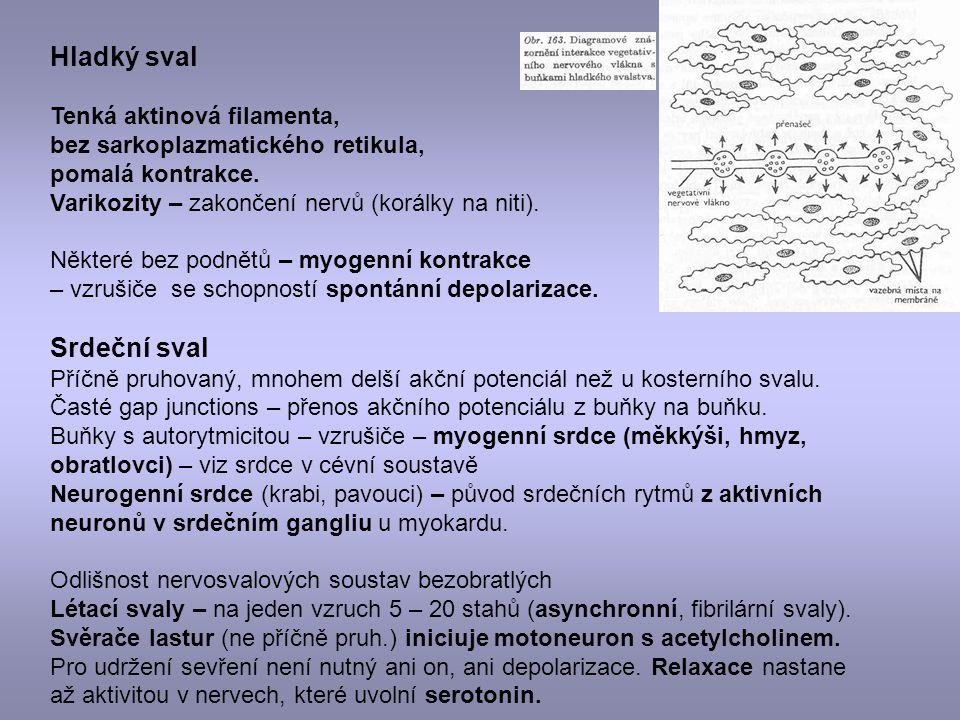 Hladký sval Srdeční sval Tenká aktinová filamenta,