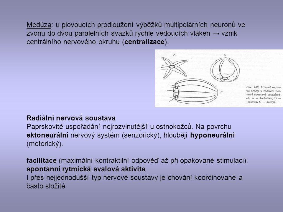 Medúza: u plovoucích prodloužení výběžků multipolárních neuronů ve zvonu do dvou paralelních svazků rychle vedoucích vláken → vznik centrálního nervového okruhu (centralizace).