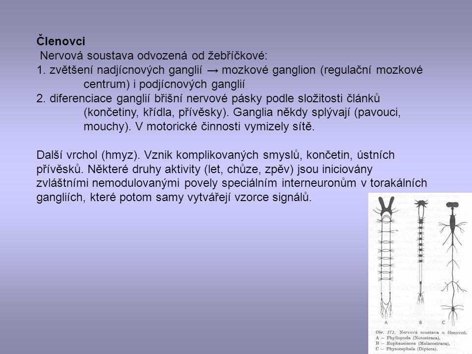 Členovci Nervová soustava odvozená od žebříčkové: