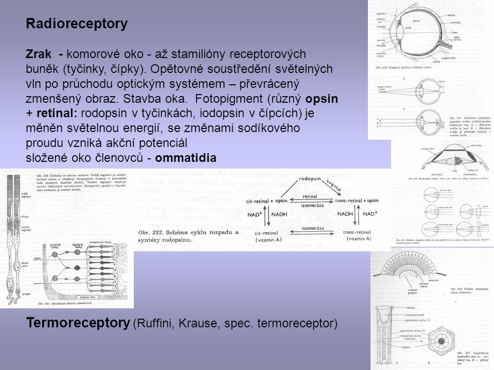 Termoreceptory (Ruffini, Krause, spec. termoreceptor)