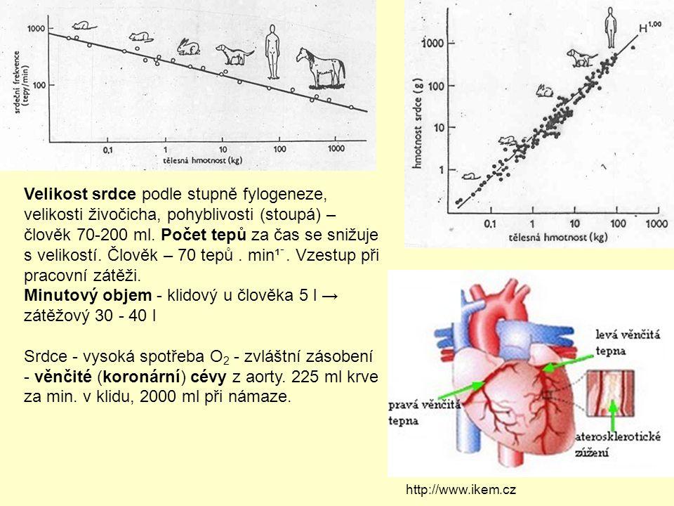 Minutový objem - klidový u člověka 5 l → zátěžový 30 - 40 l
