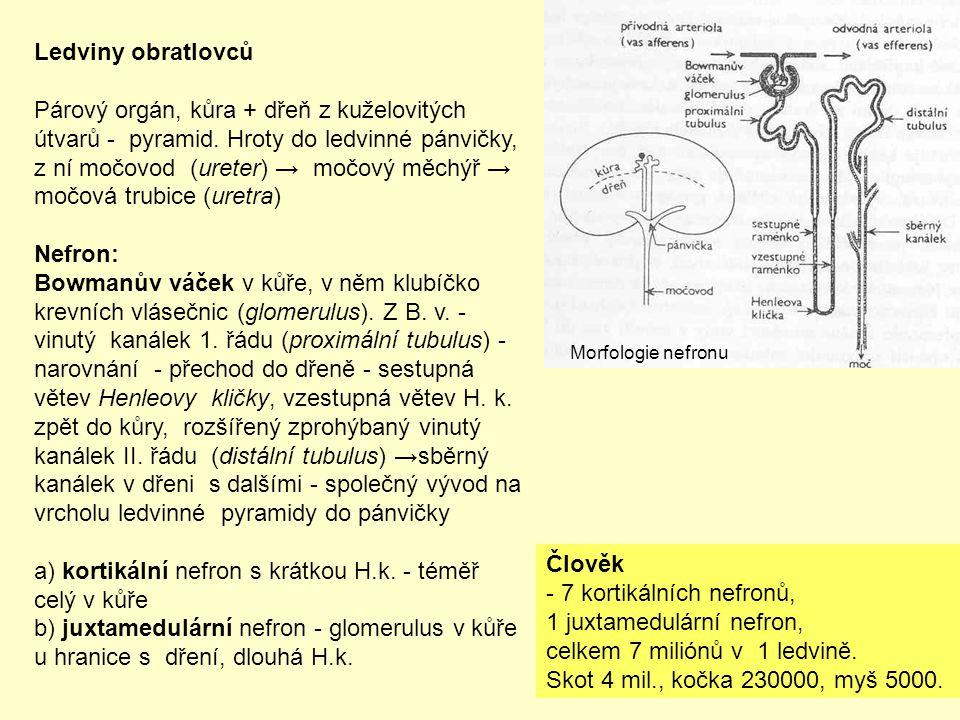 a) kortikální nefron s krátkou H.k. - téměř celý v kůře
