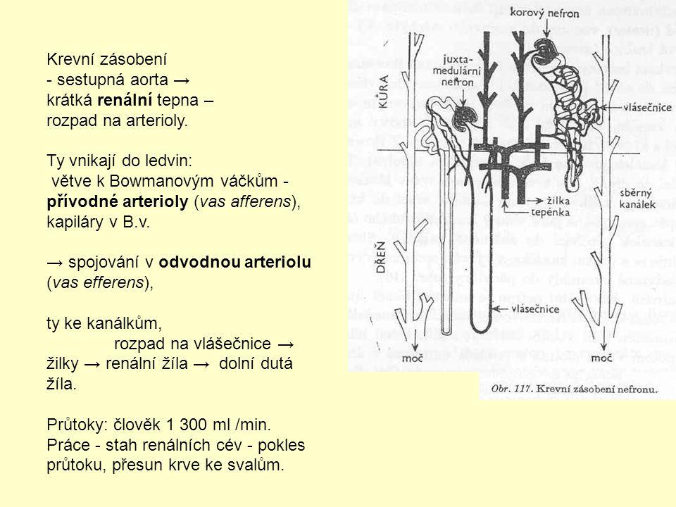 Krevní zásobení sestupná aorta → krátká renální tepna – rozpad na arterioly. Ty vnikají do ledvin: