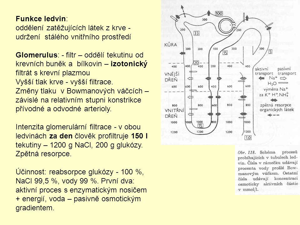 Funkce ledvin: oddělení zatěžujících látek z krve - udržení stálého vnitřního prostředí.