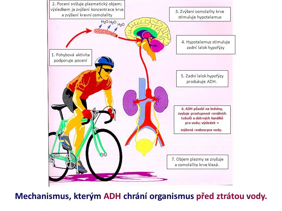 Mechanismus, kterým ADH chrání organismus před ztrátou vody.