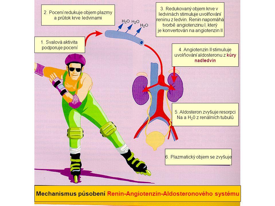 Mechanismus působení Renin-Angiotenzin-Aldosteronového systému
