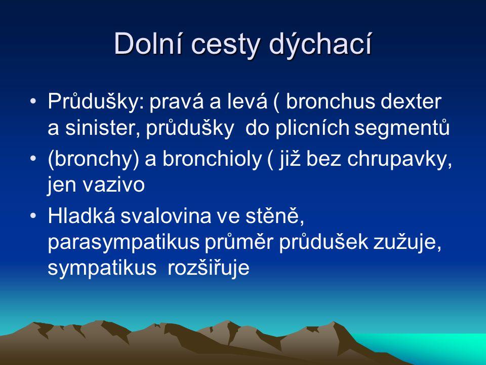 Dolní cesty dýchací Průdušky: pravá a levá ( bronchus dexter a sinister, průdušky do plicních segmentů.