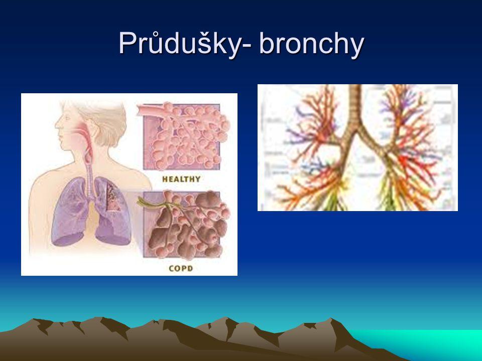 Průdušky- bronchy