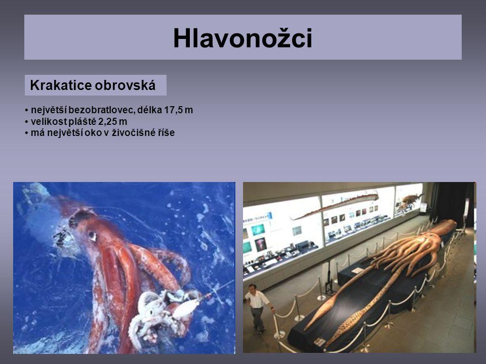 Hlavonožci Krakatice obrovská • největší bezobratlovec, délka 17,5 m