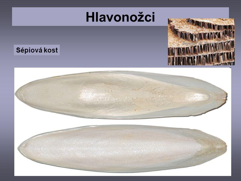 Hlavonožci Sépiová kost