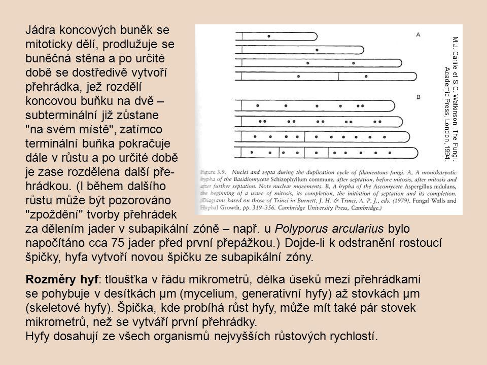 Hyfy dosahují ze všech organismů nejvyšších růstových rychlostí.